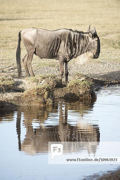 'Wildebeest (Connochaetes taurinus) reflected in water near Ndutu in Ngorongoro Crater Conservation Area; Tanzania'