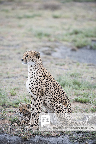 'Female Cheetah (Acinonyx jubatus) with cub in open grassland near Ndutu  Ngorongoro Crater Conservation Area; Tanzania'