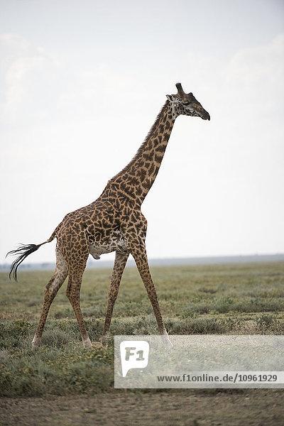 'Large male Maasai Giraffe (Giraffa camelopardalis) strides across Serengeti short grass plains near Ndutu  Ngorongoro Crater Conservation Area; Tanzania'