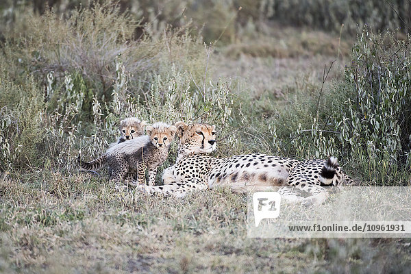 'Two small cubs next to female Cheetah (Acinonyx jubatus) lying in short grass near Ndutu  Ngorongoro Crater Conservation Area; Tanzania'