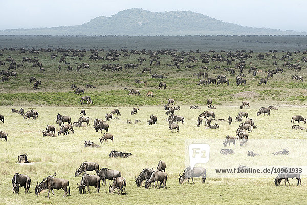 'Large herd of Wildebeest (Connochaetes taurinus) grazes on the Serengeti short grass plains near Ndutu  Ngorongoro Crater Conservation Area; Tanzania'