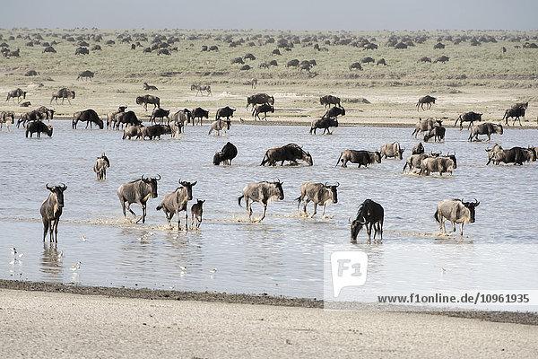 'Large herd of Wildebeest (Connochaetes taurinus) migrates across shallow lake and Serengeti short grass plains near Ndutu  Ngorongoro Crater Conservation Area; Tanzania'