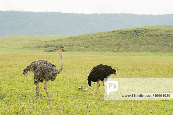 'Female and male Common Ostriches (Struthio camelus) in open grassland on floor of Ngorongoro Crater; Tanzania'