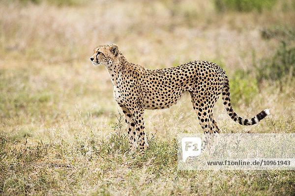 'Alert Cheetah (Acinonyx jubatus) stares intently near Ndutu  Ngorongoro Crater Conservation Area; Tanzania'
