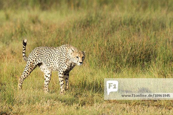 'Alert Cheetah (Acinonyx jubatus) stalking through open grassland near Ndutu  Ngorongoro Crater Conservation Area; Tanzania'