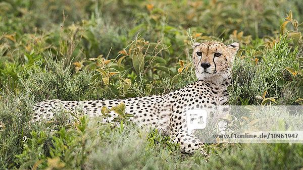 'Cheetah (Acinonyx jubatus) with head up and staring intently reclines in low shrubs near Ndutu  Ngorongoro Crater Conservation Area; Tanzania'