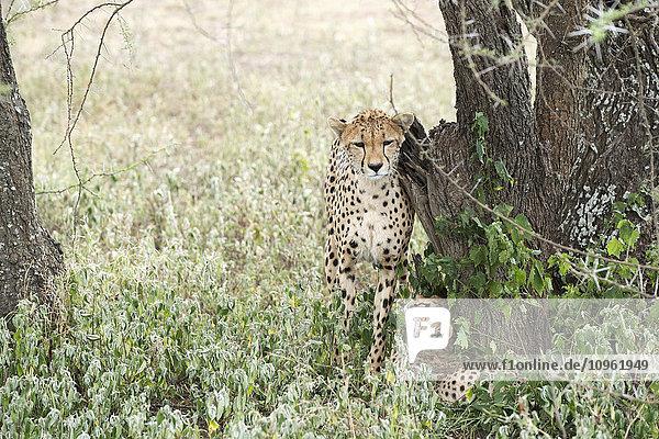 'Female Cheetah (Acinonyx jubatus) rubs against tree trunk while young cub looks up at her from below near Ndutu  Ngorongoro Crater Conservation Area; Tanzania'