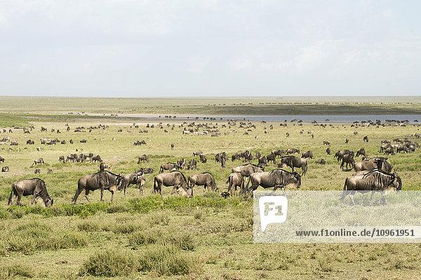 'Large herd of Wildebeest (Connochaetes taurinus) moves past lake in the Serengeti short grass plains near Ndutu  Ngorongoro Crater Conservation Area; Tanzania'