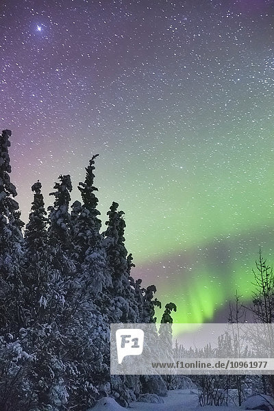 Northern Lights over snowcovered evergreen trees  Copper River Valley  Southcentral Alaska  winter