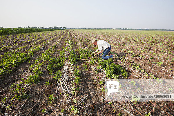 'Glyphosate resistant horseweed (marestail) growing uncontrolled in Roundup ready cotton after a postemergence application of Roundup; England  Arkansas  United States of America'