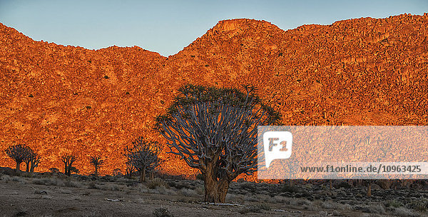 'The rising sun illuminates the mountains of Richtersveld National Park as the Kookerboom trees stand silent in the desert; South Africa'