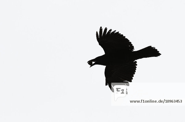 'Silhouette of a raven flying; Whitehorse  Yukon  Canada'