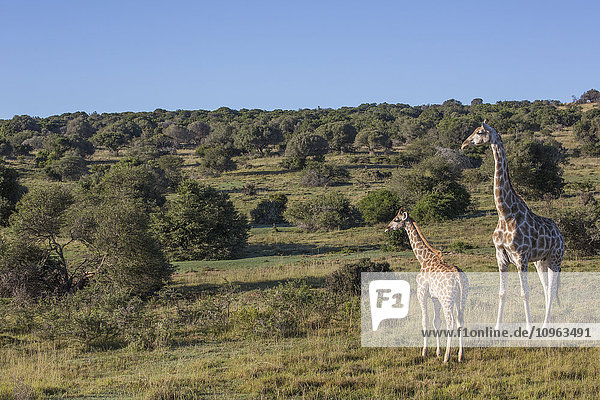 'Mother and baby giraffe; South Africa'