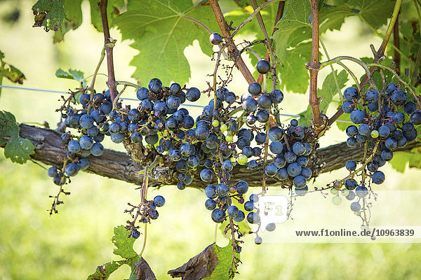 'Purple wine grapes growing on vine; Maryland  United States of America'