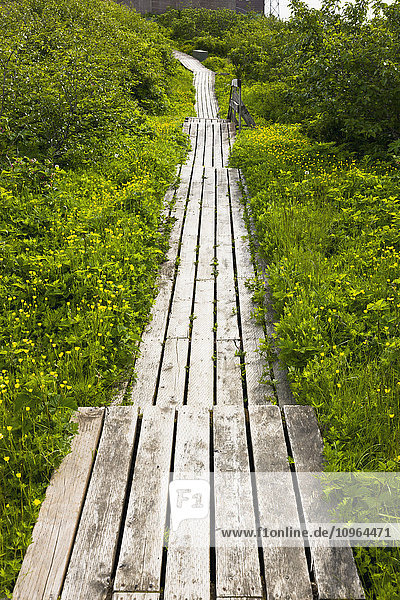 'Brush and flowers overgrowing a weathered boardwalk path  Sand Point  Popof Island  Southwestern Alaska  USA  Summer'