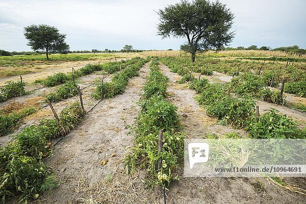 'Tomato patch; Ghanzi  Botswana'