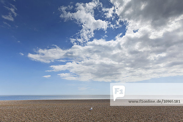 'Lone bird on an empty beach with blue sky and cloud over the ocean; Aldeburgh  Suffolk  England'