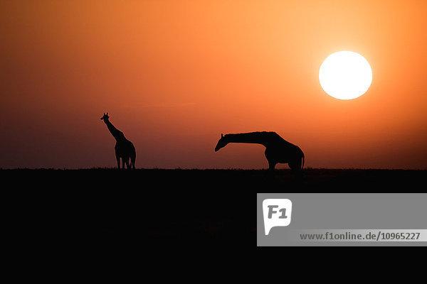'Two Maasai Giraffe (Giraffa camelopardalis) silhouetted against the rising sun  Ngorongoro Crater Conservation Area; Tanzania'