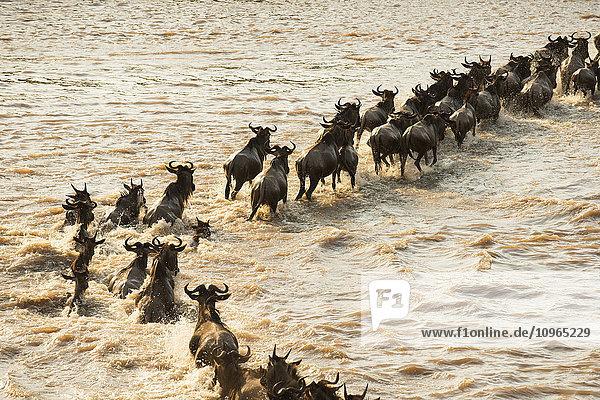 'Migrating Wildebeest (Connochaetes taurinus) cross the flooded Mara River in Serengeti National Park; Tanzania'
