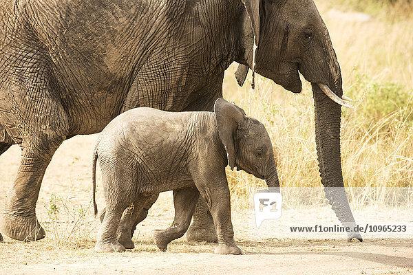 'Young Elephant (Loxodonta africana) calf walking beside its mother  Serengeti National Park; Tanzania'