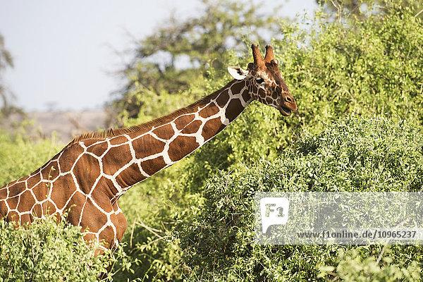 'Close up of head and shoulders of a Reticulated Giraffe (Giraffa camelopardalis)  Samburu National Reserve; Kenya'