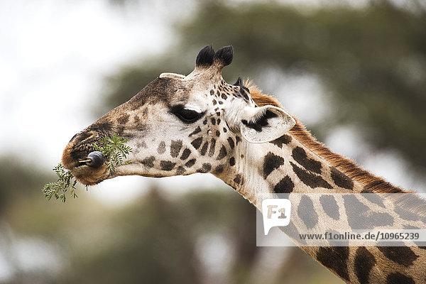 'Close up of Maasai Giraffe (Giraffa camelopardalis) with tongue wrapped around acacia leaves  Tarangire National Park; Tanzania'