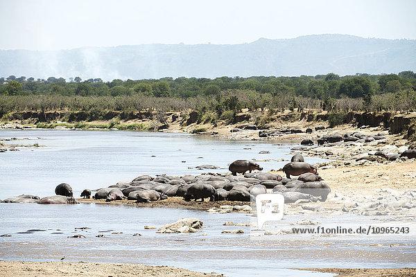 'Hippopotamus resting on banks of Mara River with smoke from bush brush fire in the background  Serengeti National Park; Tanzania'