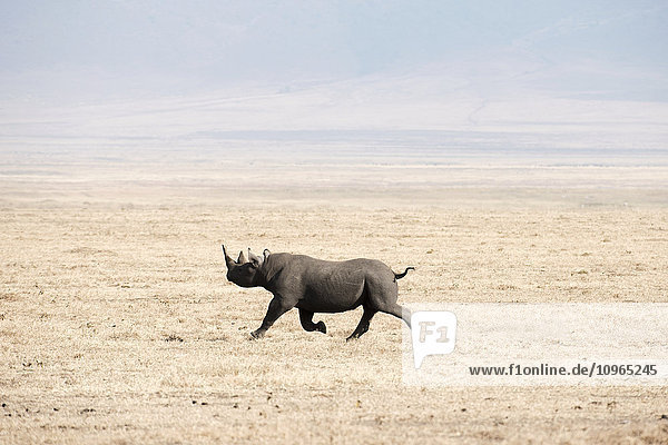 'Black Rhinoceros (Diceros bicornis) running across dry  dusty savannah  Ngorongoro Crater; Tanzania'