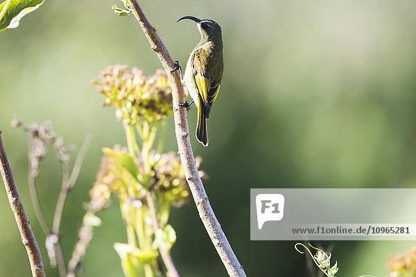 Nektarvogel Nectariniidae Ngorongoro Crater