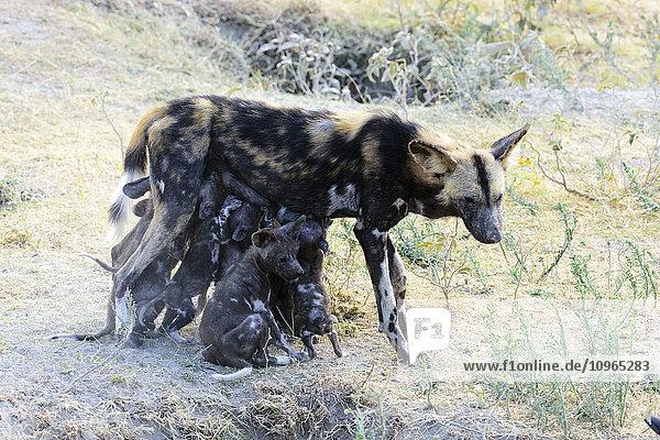 'Wild dog (Lycaon pictus) nursing puppies  Ngorongoro Crater Conservation Area; Tanzania'