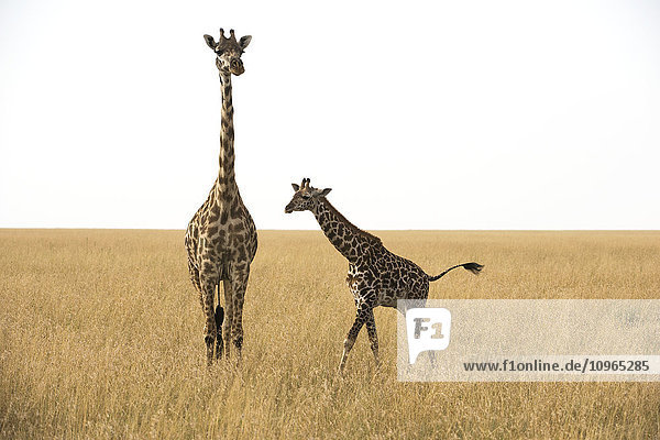'Maasai Giraffe (Giraffa camelopardalis) with calf in dry season grasslands of Serengeti National Park; Tanzania'