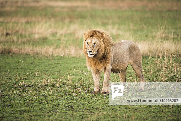 'Thick-maned  male lion (Panthera leo) stands in short grass  Serengeti National Park; Tanzania'