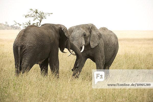 'Young bull elephants (Loxodonta africana) sparring  Serengeti National Park; Tanzania'