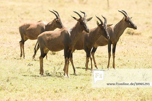 'Group of male Topi (Damaliscus lunatus) standing in short grass  Serengeti National Park; Tanzania'