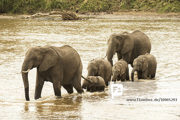 'Female elephants (Loxodonta africana) with young calves crossing the Mara River in Serengeti National Park; Tanzania'