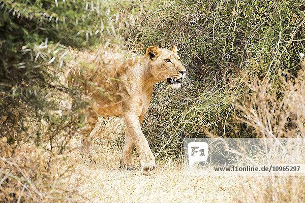'Lioness (Panthera leo) stalking prey  Samburu National Reserve; Kenya'
