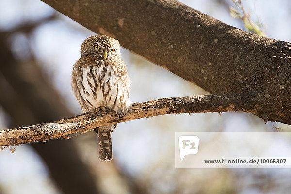 'Pearl-spotted Owlet (Glaucidium perlatum) perched on branch  Tarangire National Park; Tanzania'