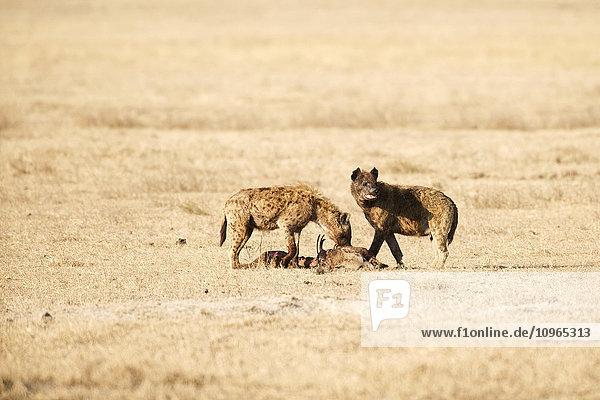 'Two Spotted Hyenas (Crocuta crocuta) feeding on carcass of another Spotted Hyena  Ngorongoro Crater; Tanzania'