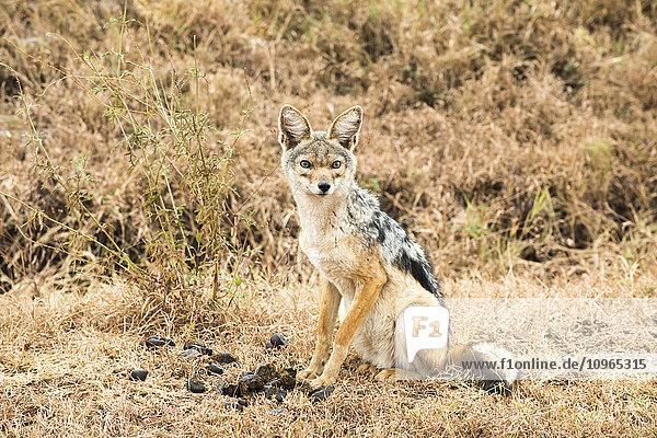'Black-backed Jackal (Canis mesomelas)  Ngorongoro Crater; Tanzania'