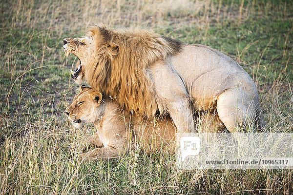 'Mating Lions (Panthera leo)  Serengeti National Park; Tanzania'