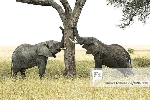 'Young bull African Elephants (Loxodonta africana) rub trunks and tusks against tree  Serengeti National Park; Tanzania'