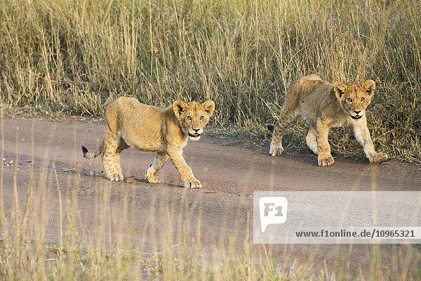 'Two small Lion (Panthera leo) cubs walking down dirt road  Serengeti National Park; Tanzania'