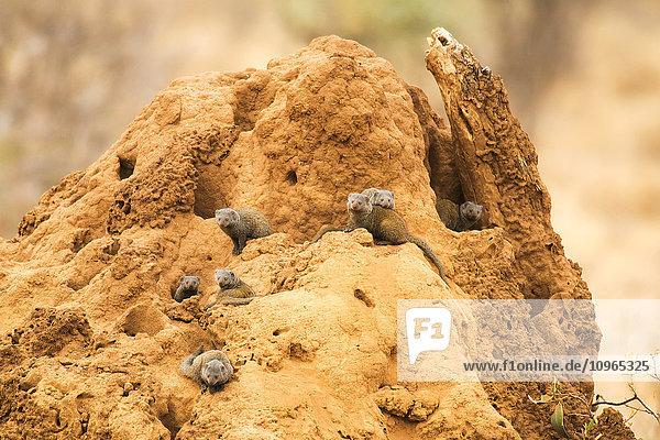 'Group of Somali Dwarf Mongoose (Helogale hirtula) on a termite mound in Samburu National Reserve; Kenya'