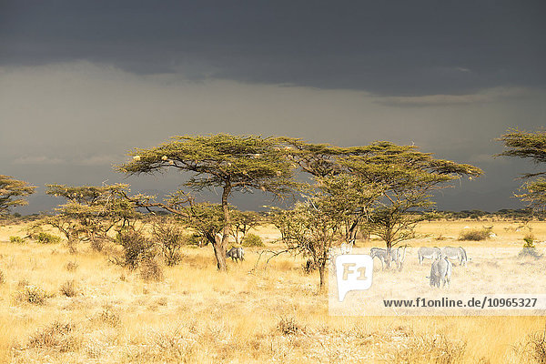 'Grevy's Zebras (Equus grevyi) graze under acacia trees under stormy skiees  Samburu National Reserve; Kenya'