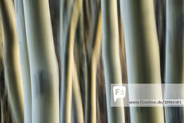 'Artistic view of aspen trees using a vertical panning technique; Carcross  Yukon  Canada'
