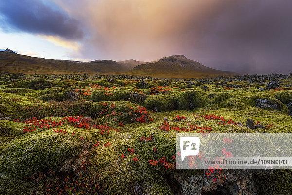 'Moss covered lava field at sunrise  Snaefellsness Peninsula; Iceland'
