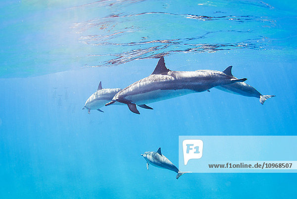dolphins swimming underwater  tropical ocean