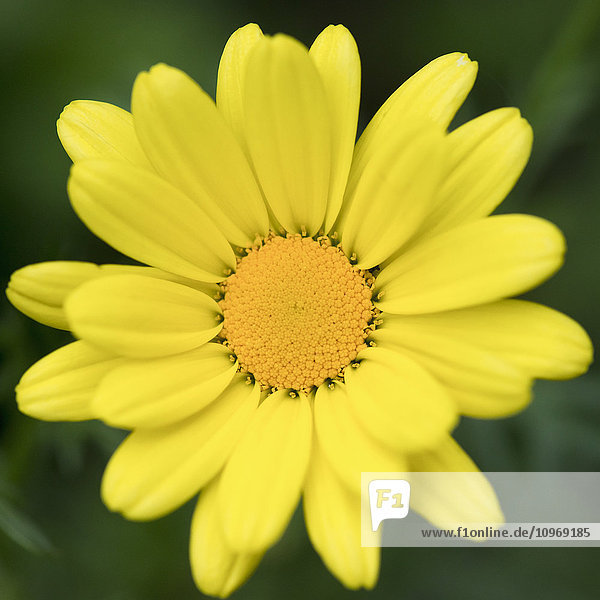 'Close up of a flower with bright yellow petals and centre; Ontario  Canada'