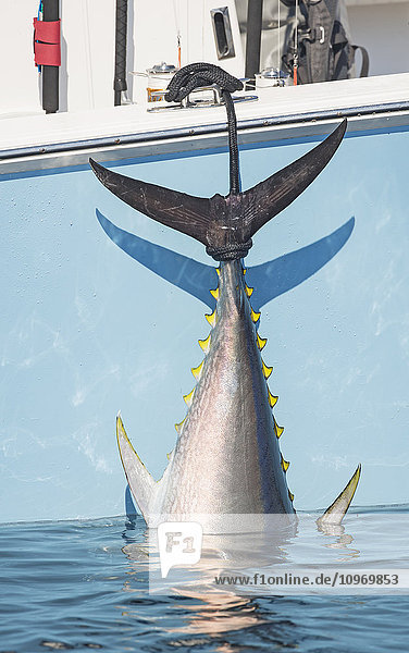 'Blue fin tuna hanging from the boat off the coast of Cape Cod; Massachusetts  United States of America'