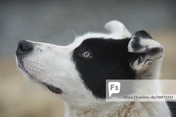 'Icelandic Sheep Herding Dog; Iceland'